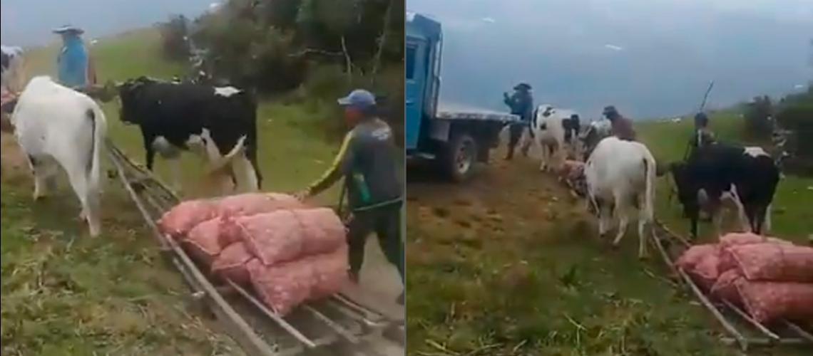 Diario Frontera, Frontera Digital,  BUEYES, Regionales, ,Con bueyes transportan alimentos en el sur de Mérida