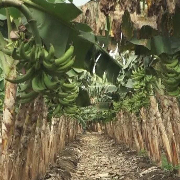 Diario Frontera, Frontera Digital,  Fundación para el Mejoramiento del Plátano en Venezuela (, Panamericana, ,FUMPLAVEN EXIGE SUMINISTRO DE COMBUSTIBLE PARA EVITAR PÉRDIDA DE PLÁTANO