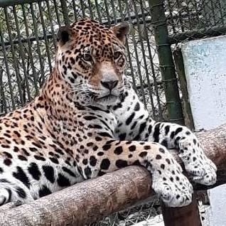 Diario Frontera, Frontera Digital,  CHORROS DE MILLA, Regionales, ,Falleció jaguar del zoológico Chorros de Milla