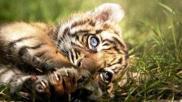 https://fronteradigital.com.ve/Nace un raro ejemplar de tigre de Sumatra  en un zoo de Polonia