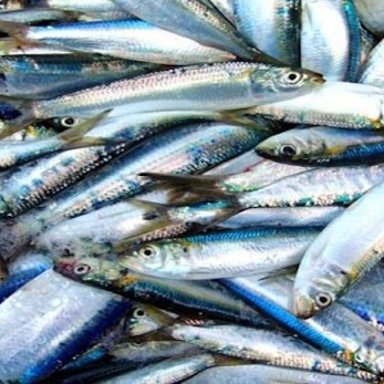 Diario Frontera, Frontera Digital,  Minpesca, Regionales, ,Observatorio del MINPESCA valora positivamente  las jornadas de distribución de sardina en Mérida